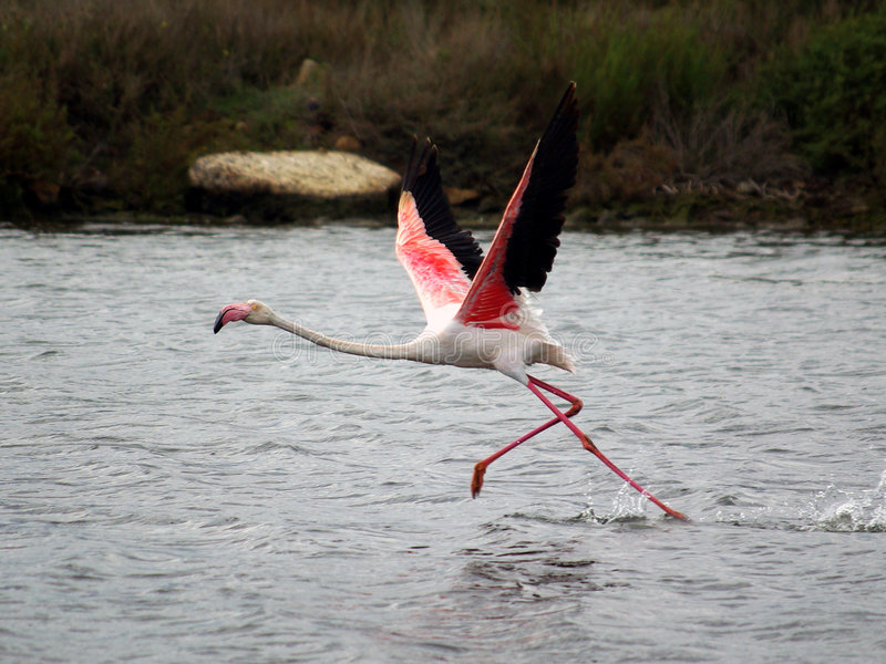 Flamingo klaar te vliegen royalty-vrije stock foto