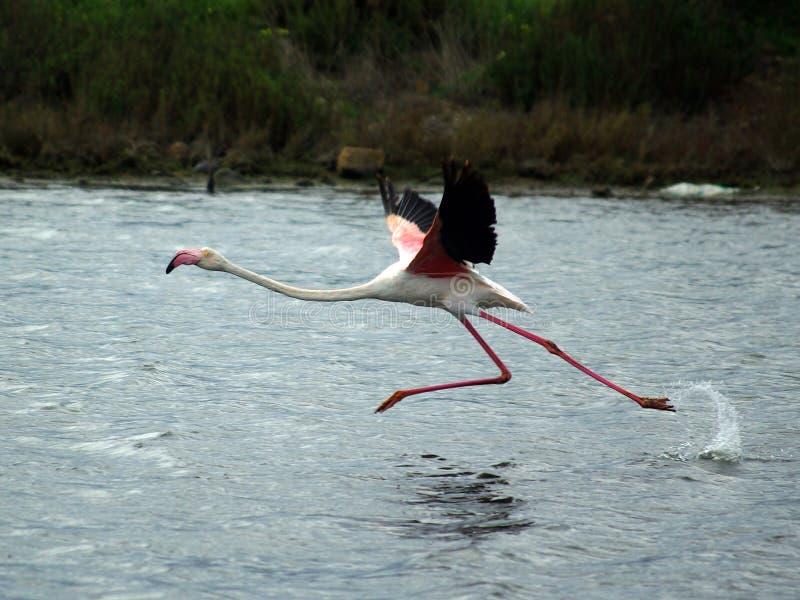 Flamingo klaar te vliegen stock foto