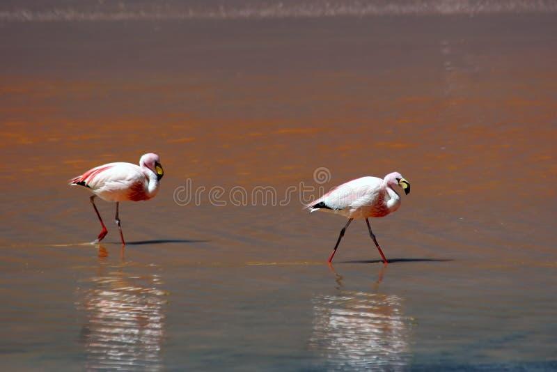flamingo laguny górska czerwony fotografia royalty free