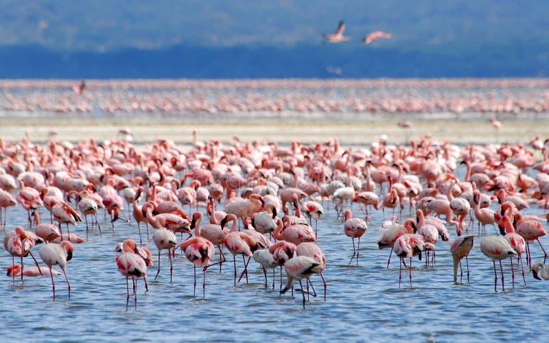 Flamingo on lake stock images