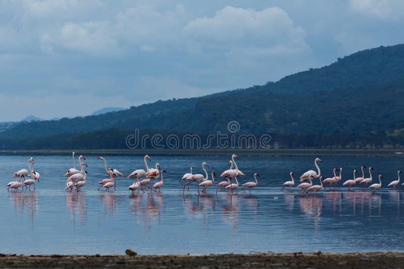 Download Flamingo on lake stock photo. Image of pink, reflection - 24876028