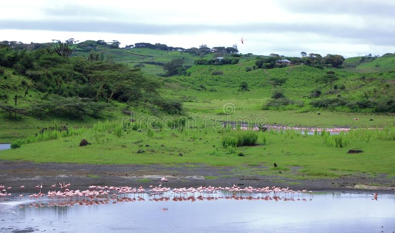 Flamingo lake landscape. Flamingo in Arusha national park , Tanzania stock photography
