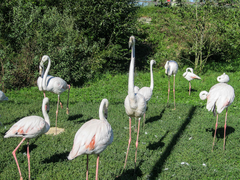 Flamingo. Flamingo (lat. Phoenicopteridae) — the family of novoelnya birds party FlamingoBet. Large water birds with a long neck and legs. The beak has a stock photography