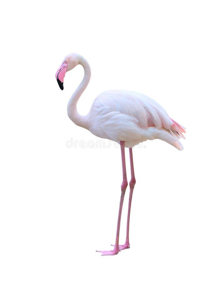 Flamingo lokalisiert auf weißem Hintergrund lizenzfreie stockfotos