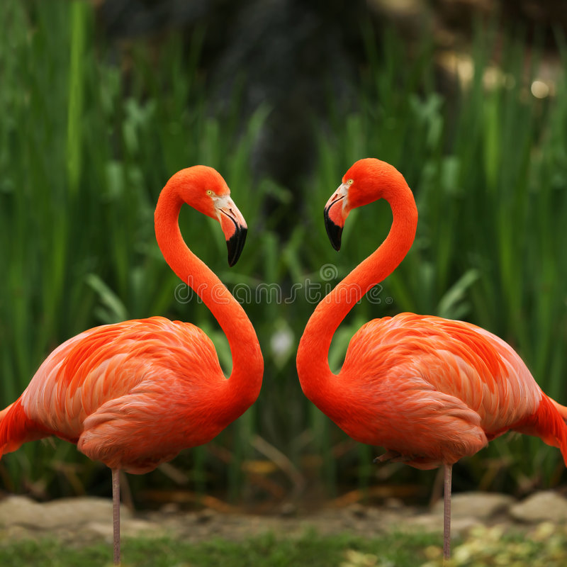 Flamingo love talk. A couple of bright red flamingo birds (Phoenicopterus ruber) in love