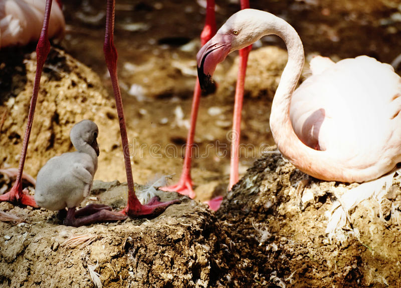 Flamingo med nyfött royaltyfri bild