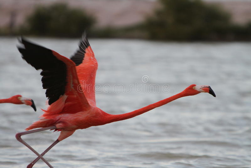 Flamingo in Mexico royalty-vrije stock foto's