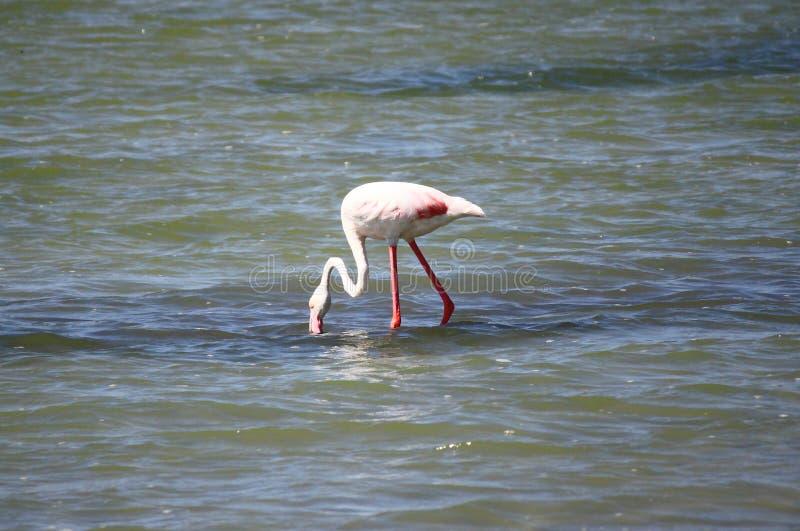 Flamingo in Molentargius Park of Cagliari stock images