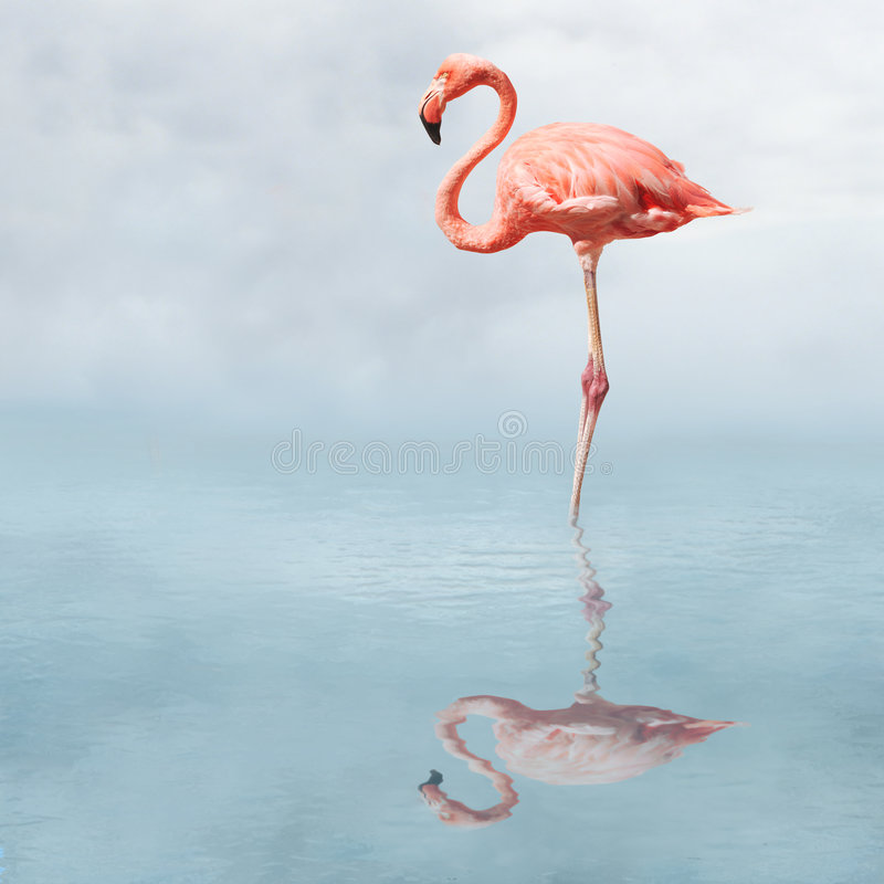 flamingo na lagoa fotografia de stock royalty free