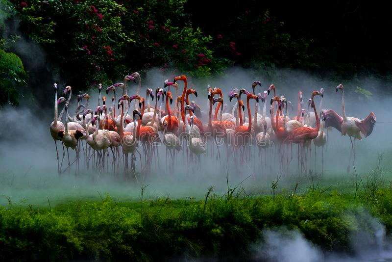 Flamingoes in the fog royalty free stock image