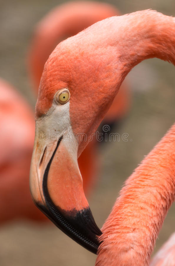 Flamingo in Nationale Dierentuin, Washington DC royalty-vrije stock foto