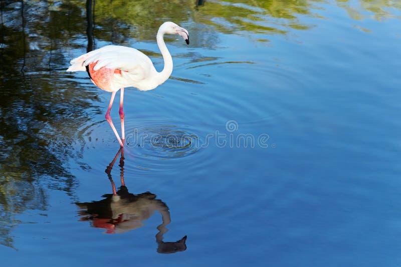 Flamingo in nature habitat. Wildlife animal scene from nature. Flamingo in nature habitat. Beautiful water bird. Pink big bird Greater Flamingo stock images