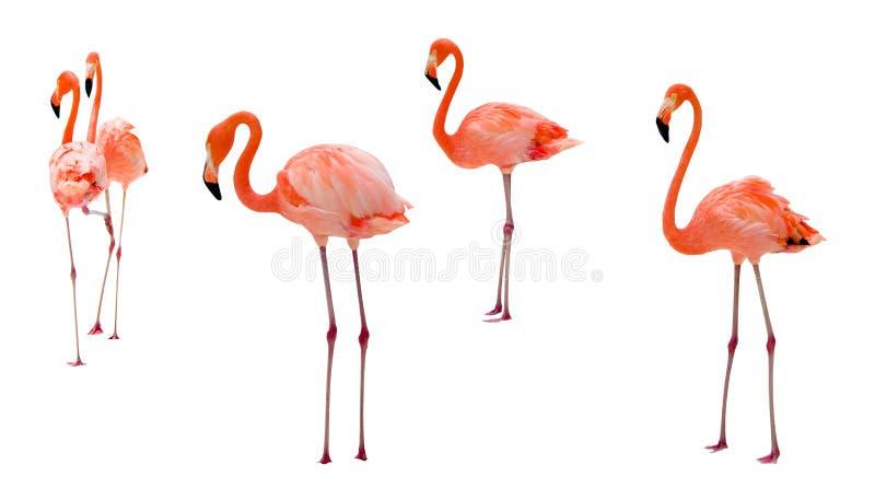 Flamingo no branco foto de stock royalty free