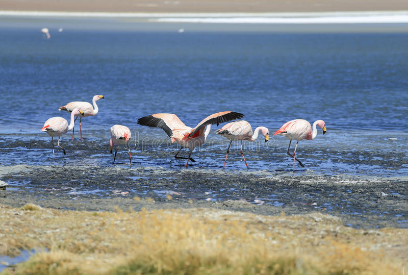 flamingo no lago de sal, Bolívia imagens de stock