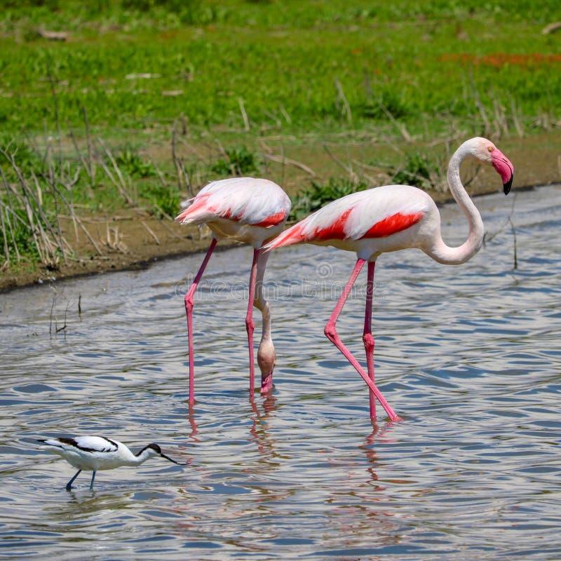 Flamingo nos animais selvagens, fuente de piedra imagens de stock royalty free