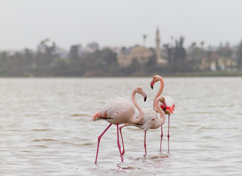 Flamingo och Hala Sultan Tekke på den Larnaca Salt-sjön i Cypern arkivfoton