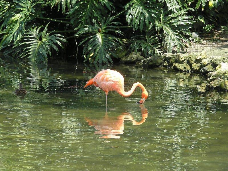 flamingo odbicie s fotografia royalty free
