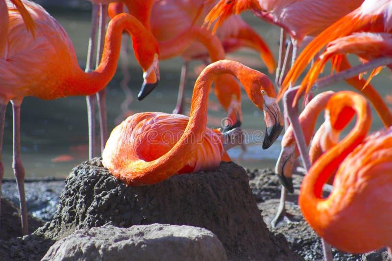 Flamingo op het nest royalty-vrije stock foto
