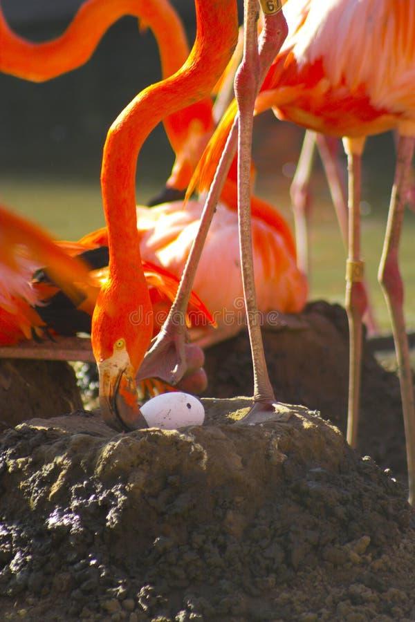 Flamingo op het nest stock fotografie