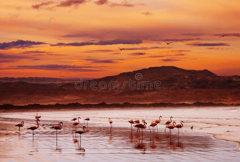 Flamingo op het strand bij zonsondergang