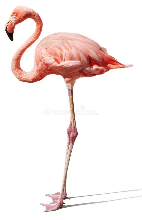Flamingo op wit stock foto