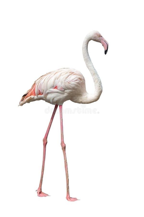 Flamingo op witte achtergrond wordt geïsoleerd die stock foto