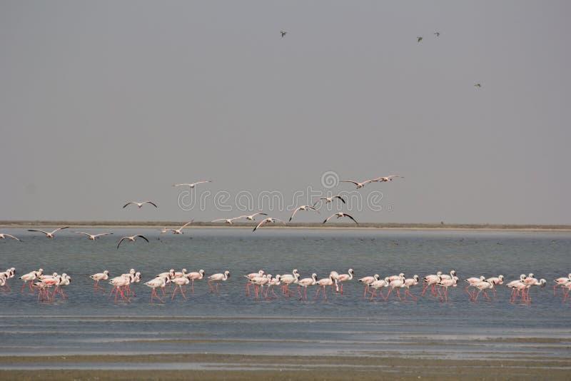 Flamingo på den lilla Rann stranden arkivbilder