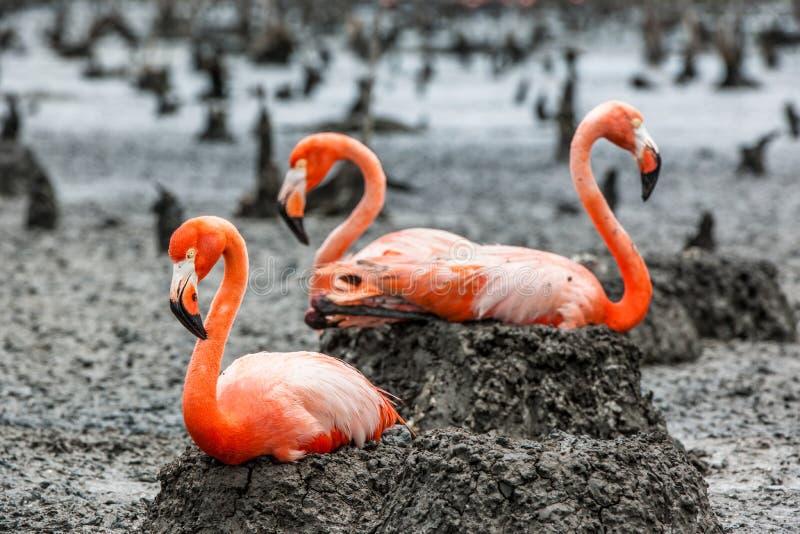 Flamingo på redena royaltyfri fotografi