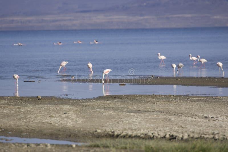 Flamingo på sjöAbbe arkivfoto