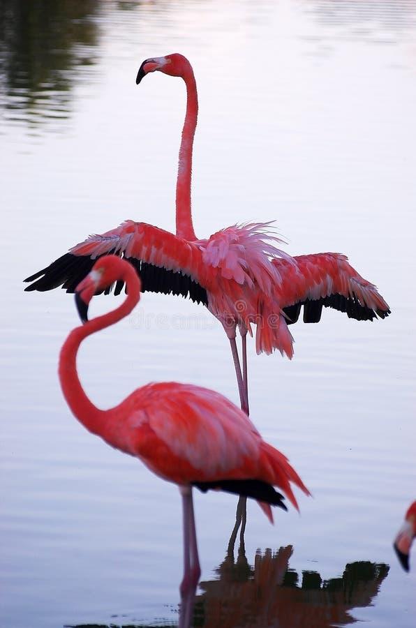 Flamingo på sjön arkivfoton