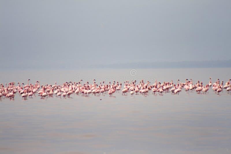 Flamingo på sjön Eyasi (Tanzania) arkivfoton