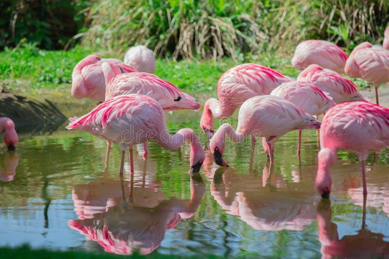 Flamingo på sjön med spegeleffekt arkivfoto