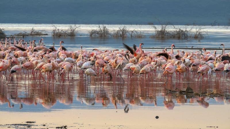 Flamingo på soluppgång på kusten av sjöbogoriaen, Kenya royaltyfri foto