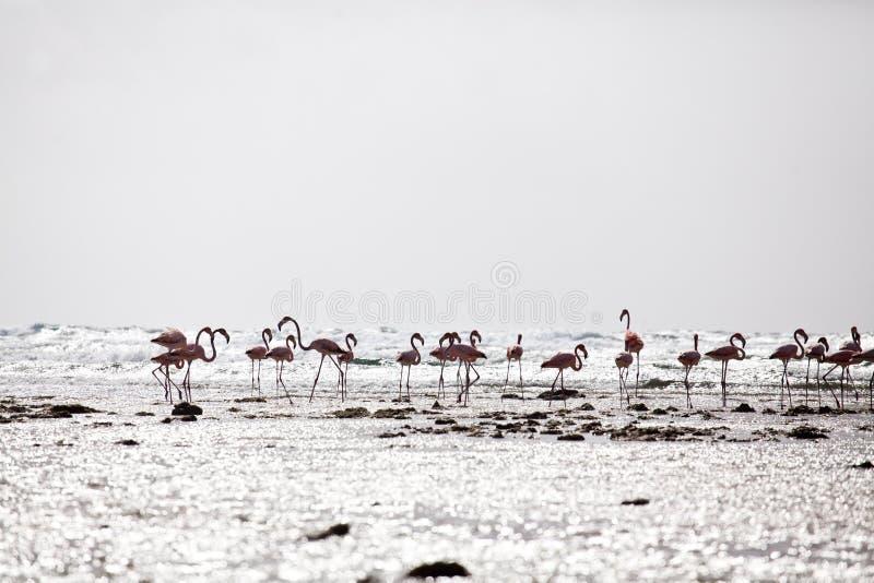 Flamingo på stranden arkivbilder