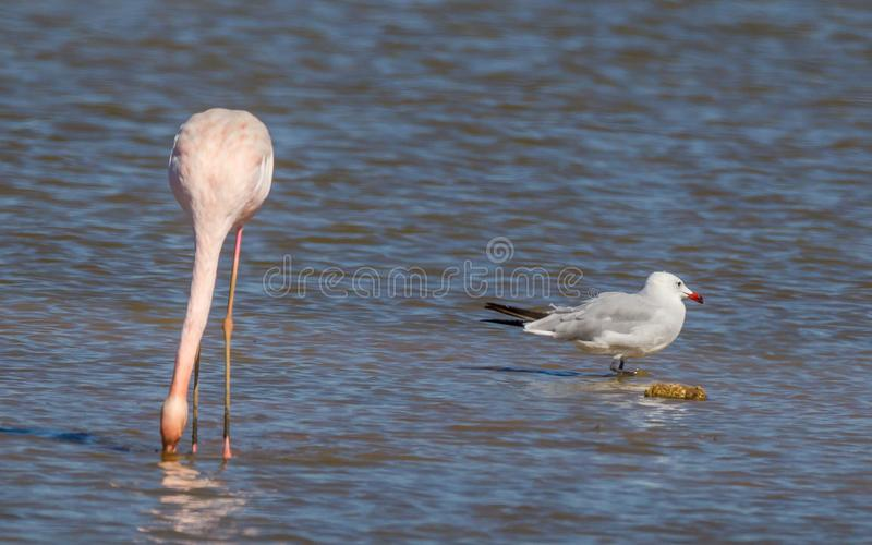 Flamingo Phoenicopterus Roseus royalty free stock images