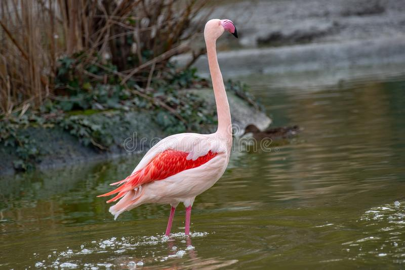 Flamingo Phoenicopterus-roseus schoss am See Kerkini in Griechenland stockbilder