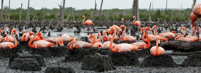 Flamingo (Phoenicopterus ruber) am Nest. lizenzfreie stockfotos
