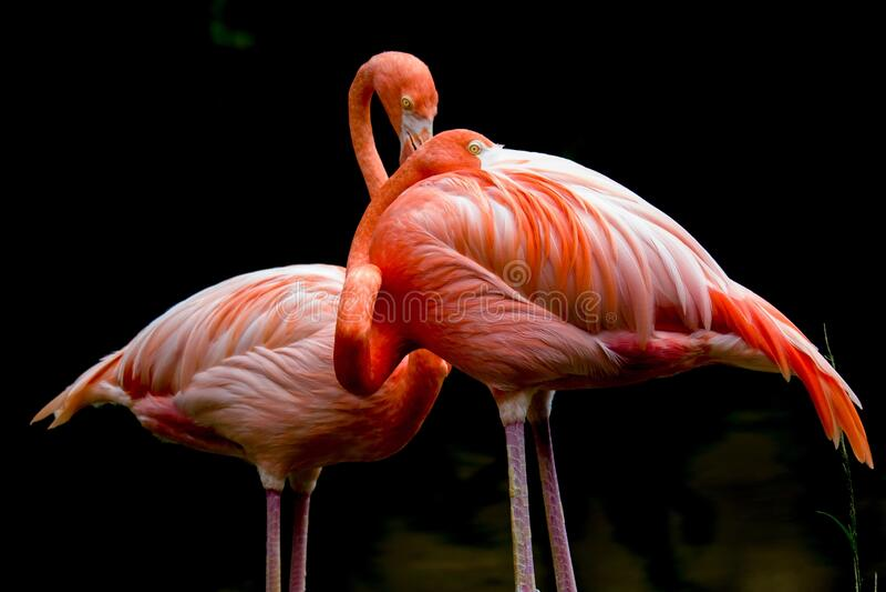 Flamingo - Phoenicopterus - Zoo zdjęcie stock