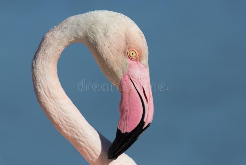 Flamingo portrait, Camargue, France stock photography