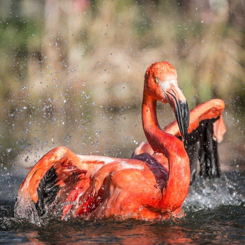 Free Flamingo Portraits Stock Photography - 36411782