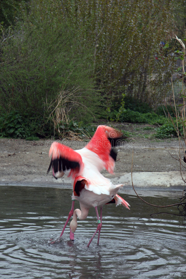 flamingo Prague zoo obraz royalty free
