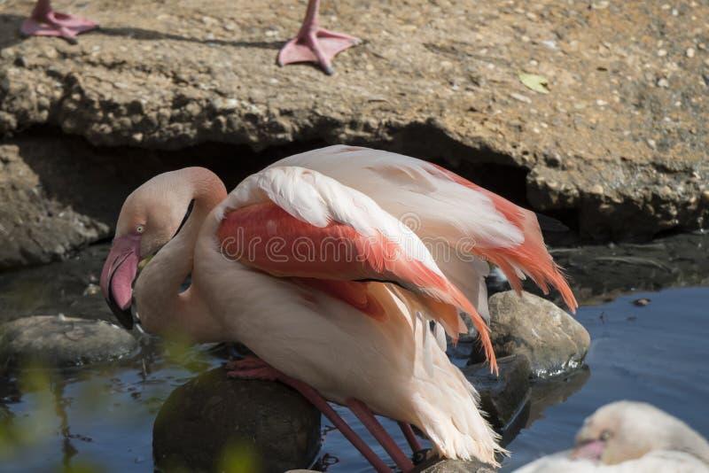 Flamingo que descansa em uma pata fotografia de stock royalty free
