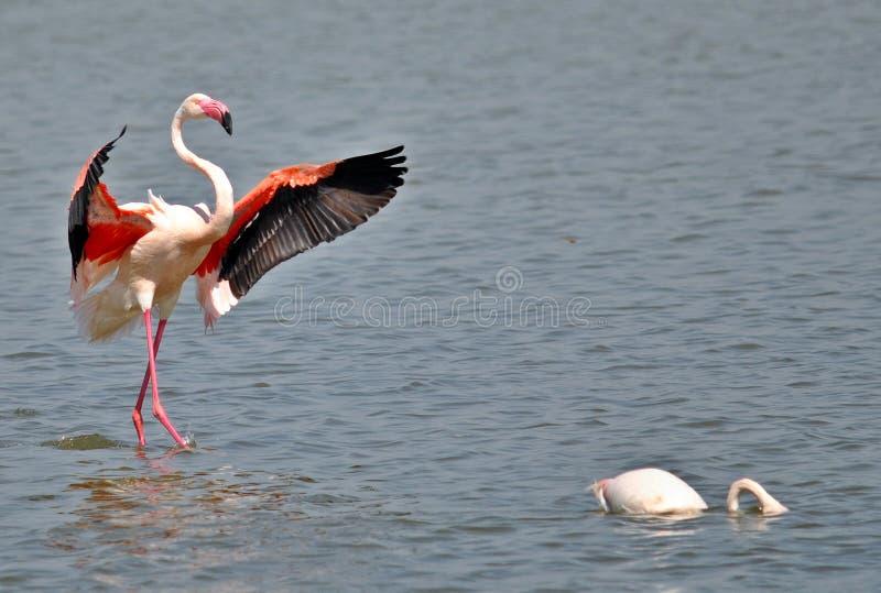 Flamingo que empoleira-se na água imagem de stock royalty free