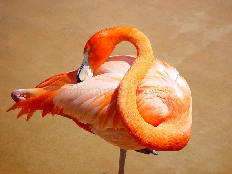 FLAMINGO RESTING. THIS IS A FLAMINGO RESTING IN THE SUMMER SUN stock image