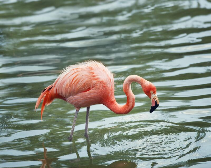 Flamingo rosa caminando por el agua fotos de archivo