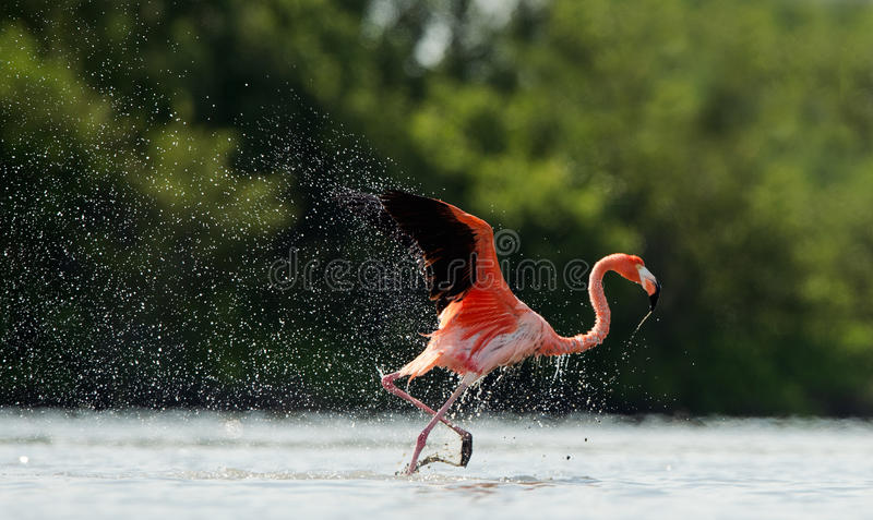 Download The Flamingo Runs On Water With Splashes Stock Image - Image: 26470655