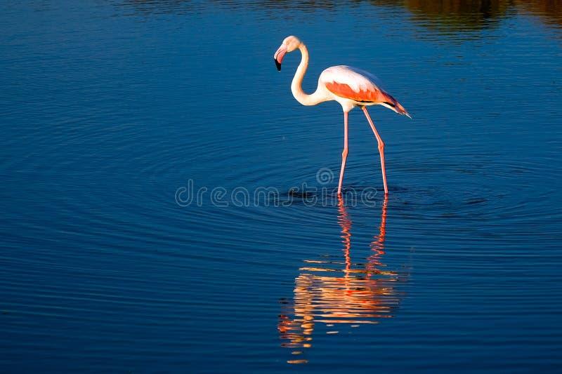 Flamingo só do pássaro fotografia de stock royalty free