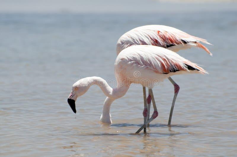 Flamingo's bij Atacama-woestijn stock foto