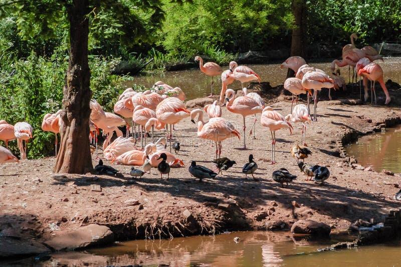 Flamingo's bij Paignton-dierentuin in Devon, het UK royalty-vrije stock foto's