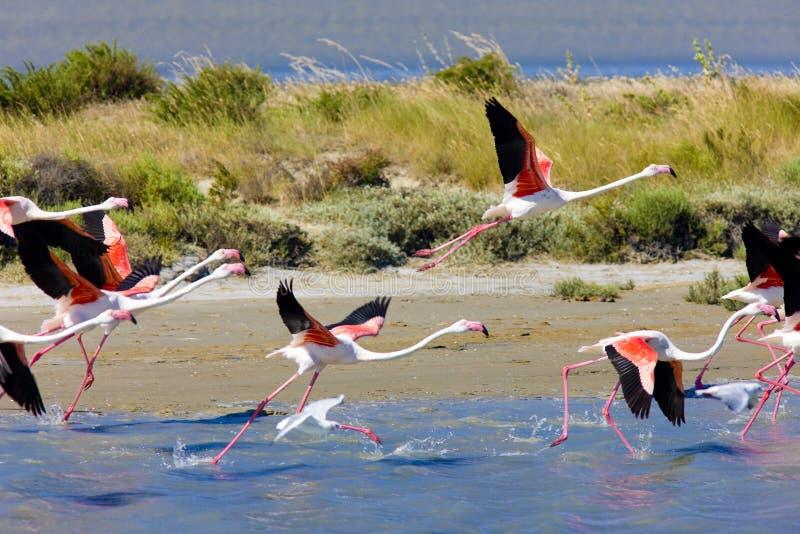 Flamingo's in Camargue royalty-vrije stock foto's